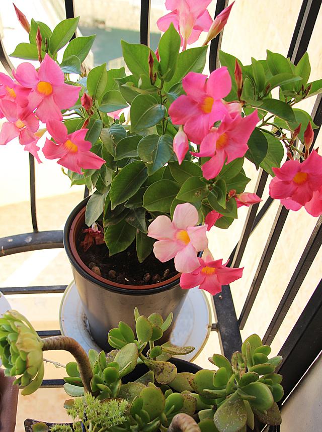 Window sill garden, mandevilla vine