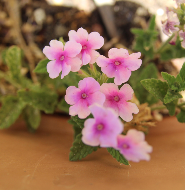 Summer blooms- verbena