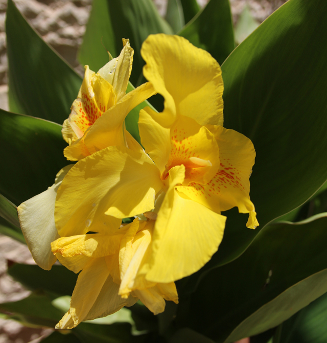 Summer blooms- yellow Canna