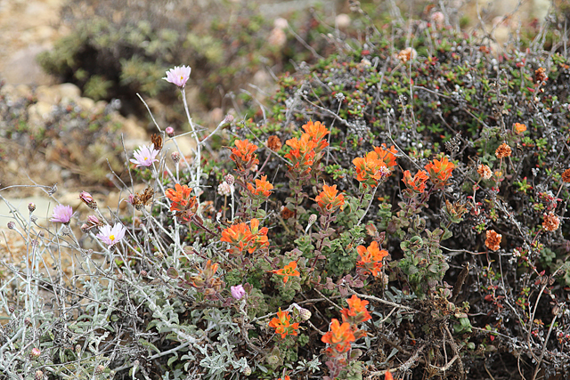 Point Lobos Wild Flowers
