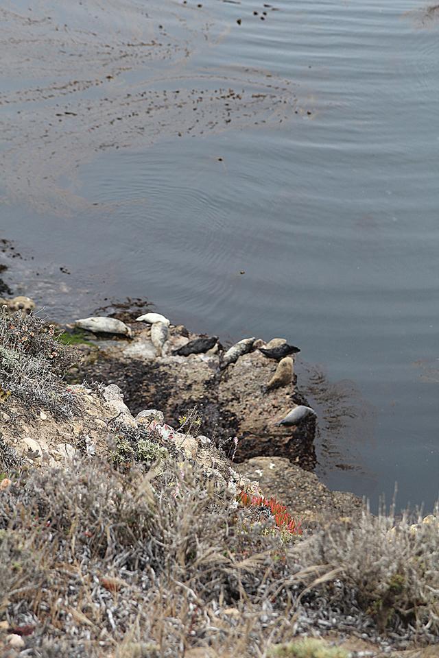 Point Lobos Sea Lions Far below