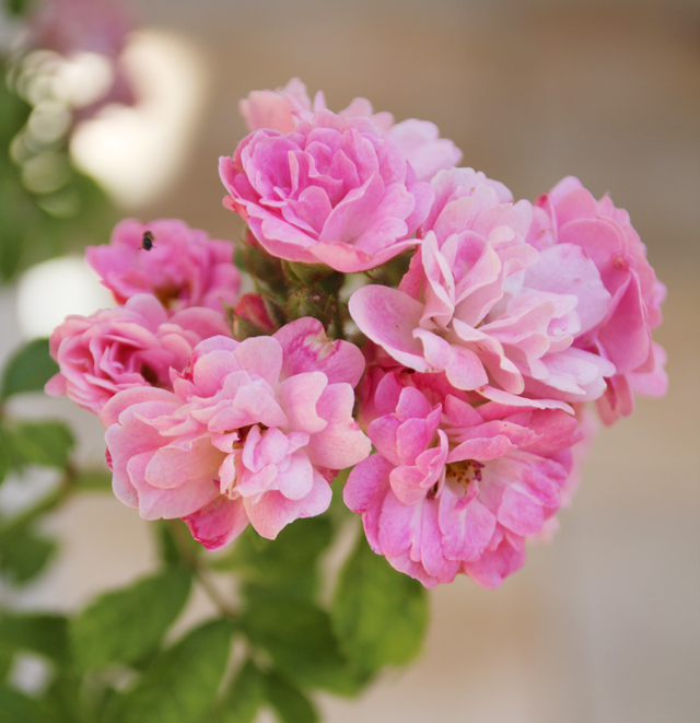 Summer blooms; pink climbing rose