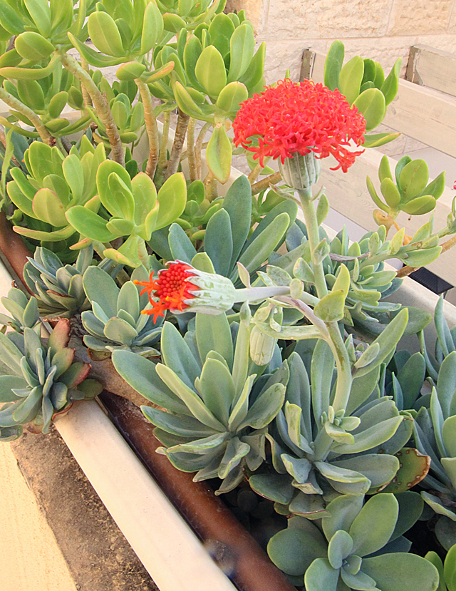 Container Gardening- Oribe Gorge Succulent In bloom 2013