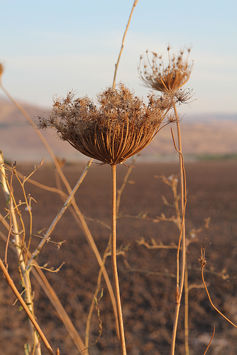 Golan Heights Queen Anne's Lace Weed In Fall