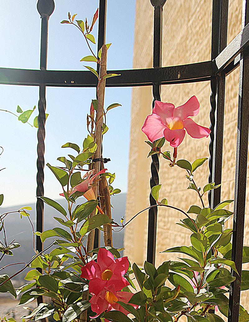 Container Gardening- overwintering mandevilla