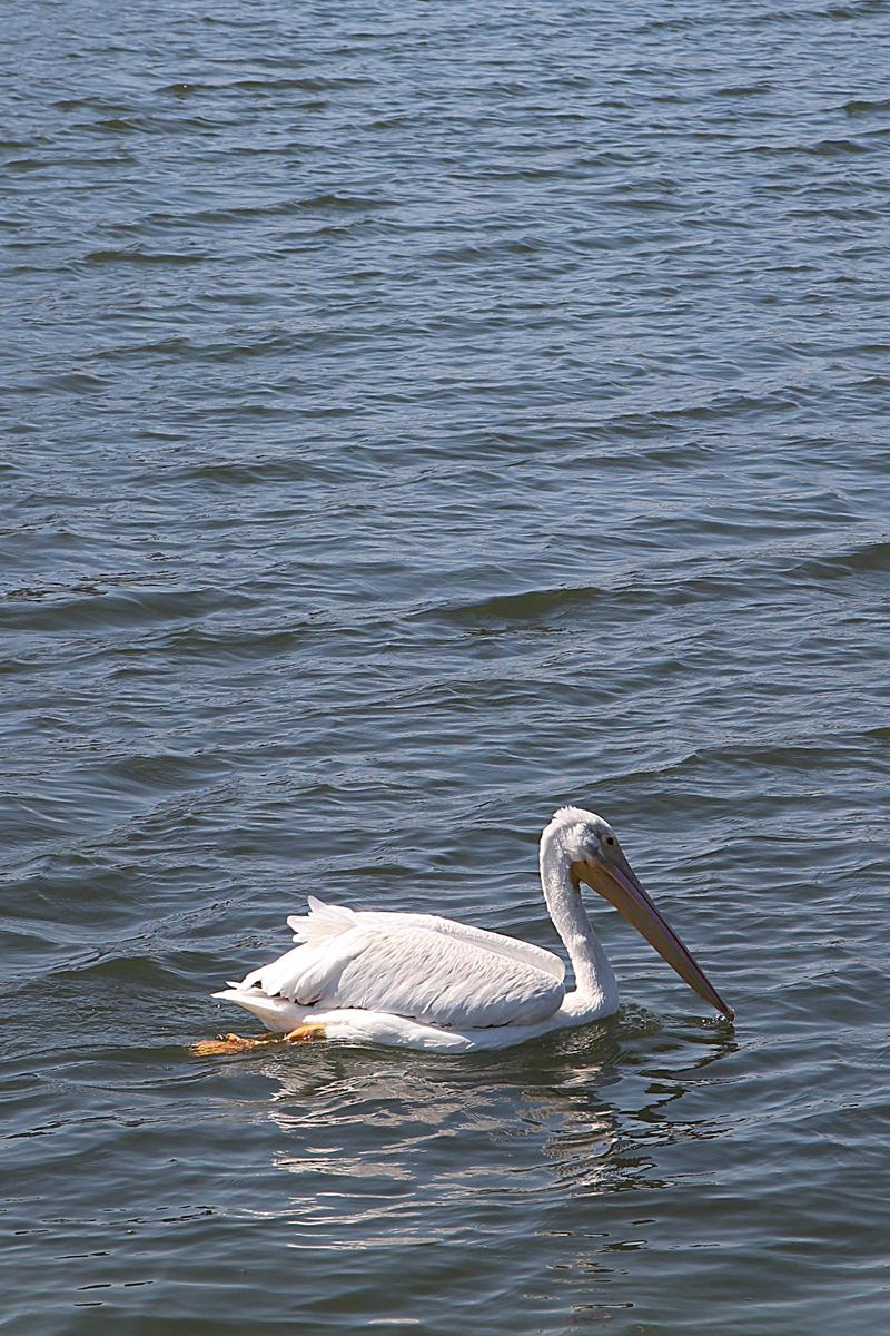 Lake Merrit Pelican