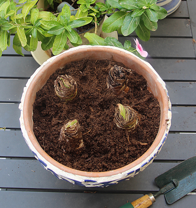 Amaryllis Bulbs Forcing In Pot