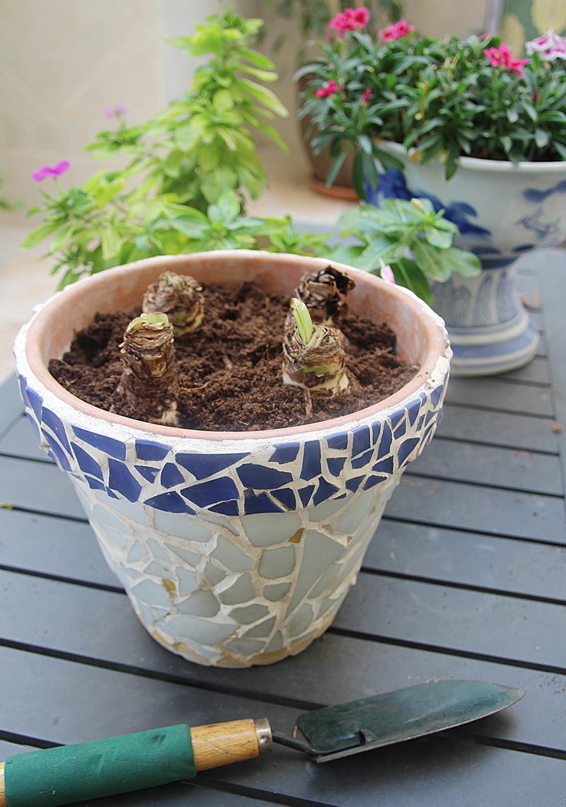 Amaryllis Bulbs In Simple Mosaic Pot