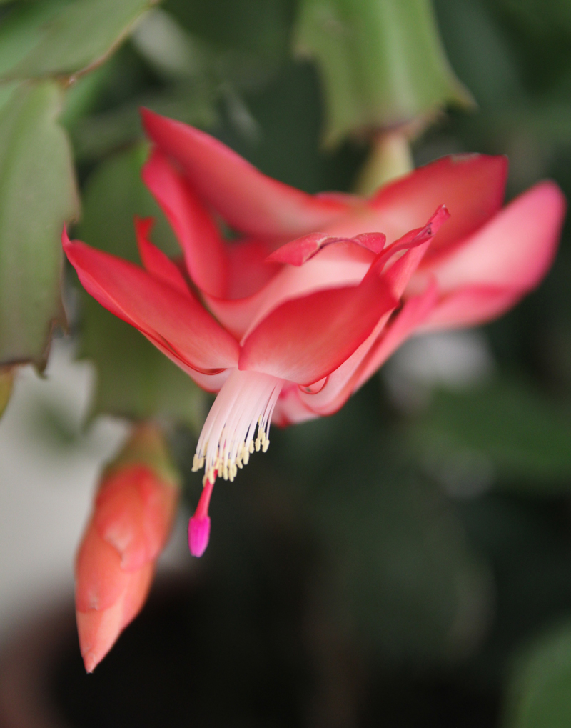 Schlumbergera Bloom Close up