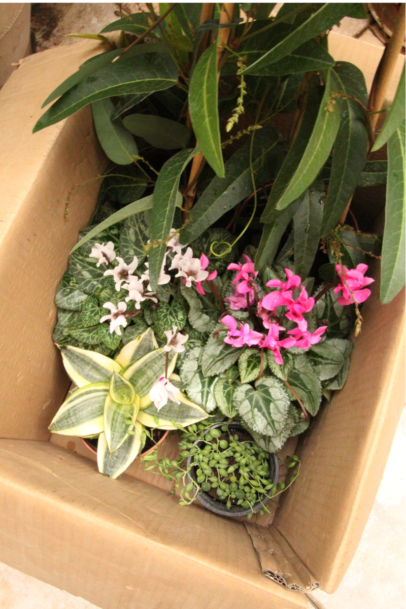 Container Gardening winter plant purchase cyclamen