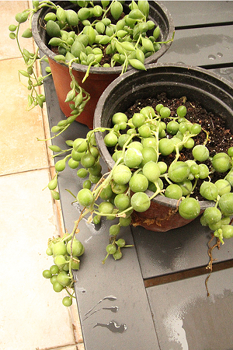 Container Gardening Winter Plant Purchase string of pearls succulent
