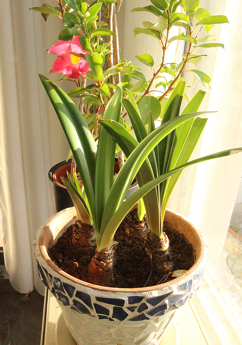 Amaryllis Forcing In December