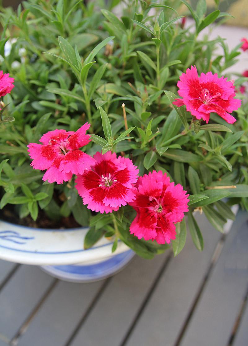 Container gardening- mini chrysanthemum