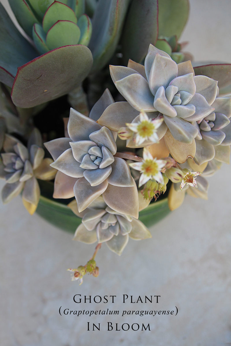 Succulents- Ghost Plant Made From Cuttings In Bloom
