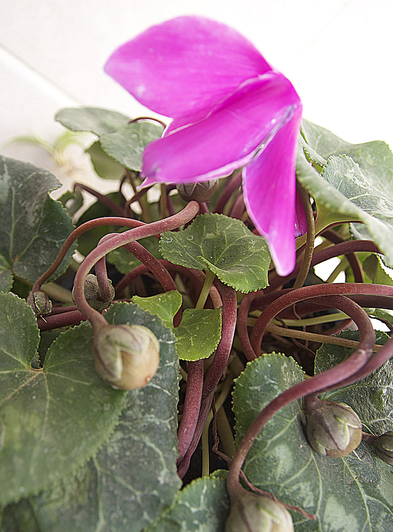 Cyclamen with seed pods