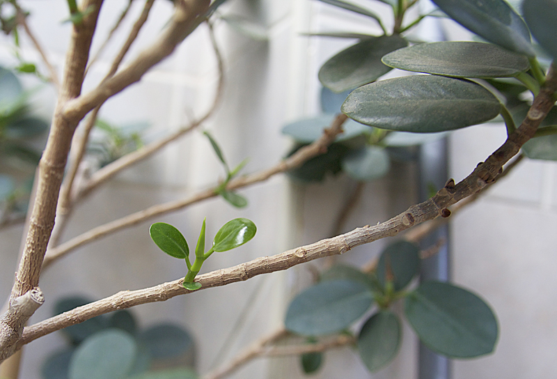 Bare Ficus With New Growth