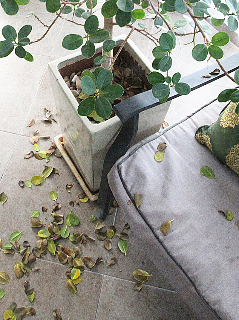 Ficus with leaf dropping
