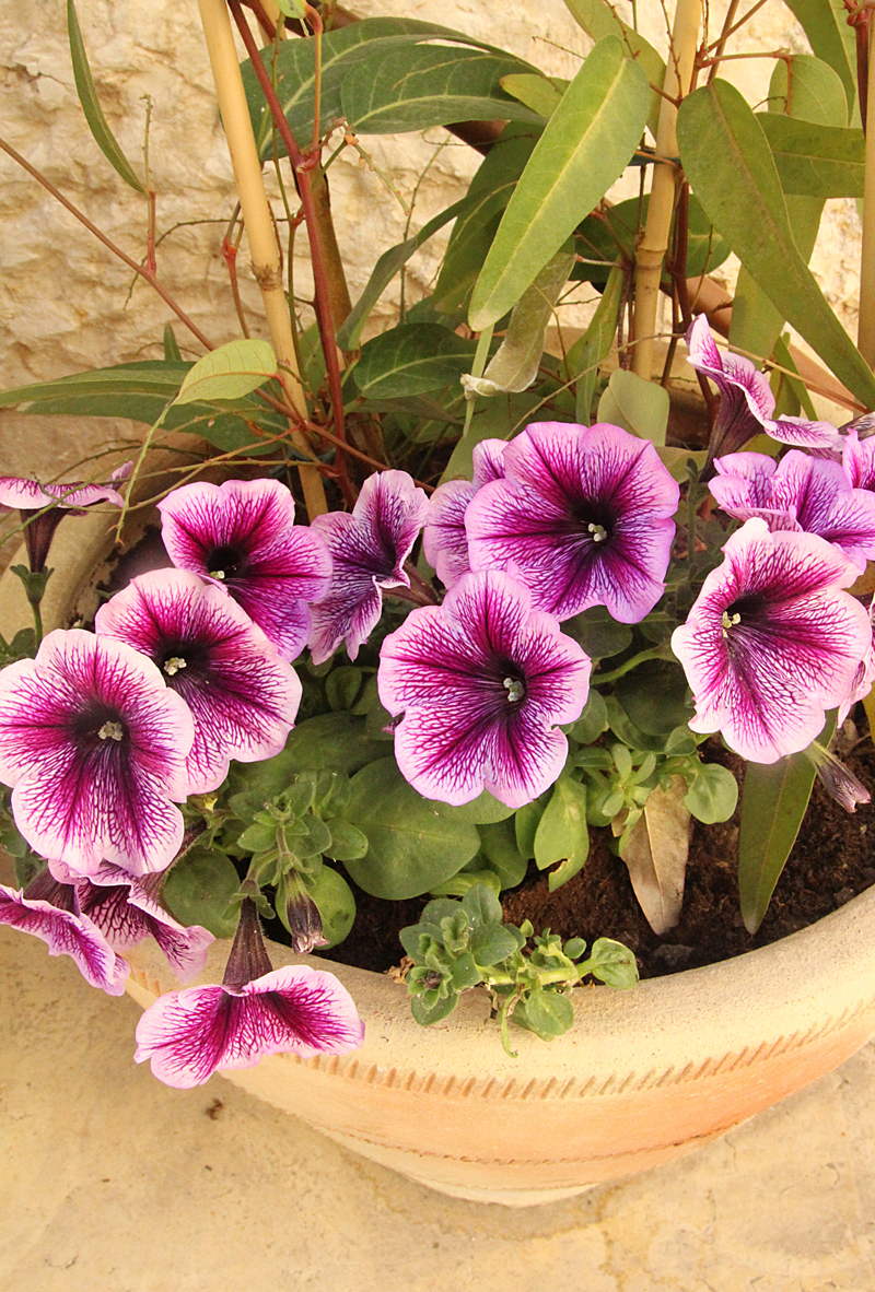 Petunias With Hedenbergia