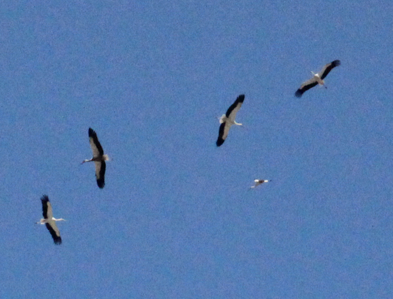 Storks Migrating Sighting 2014