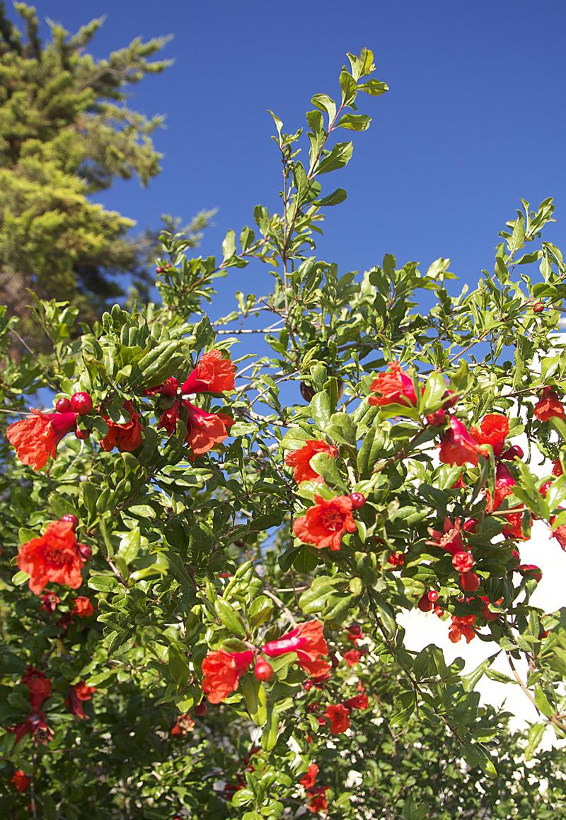 Pomegranite In Bloom