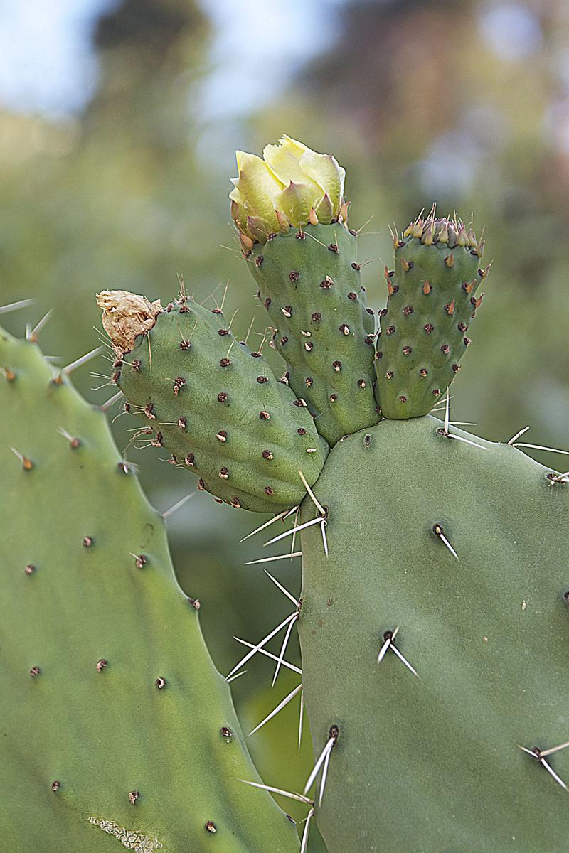 Sabra Cactus In Bloom