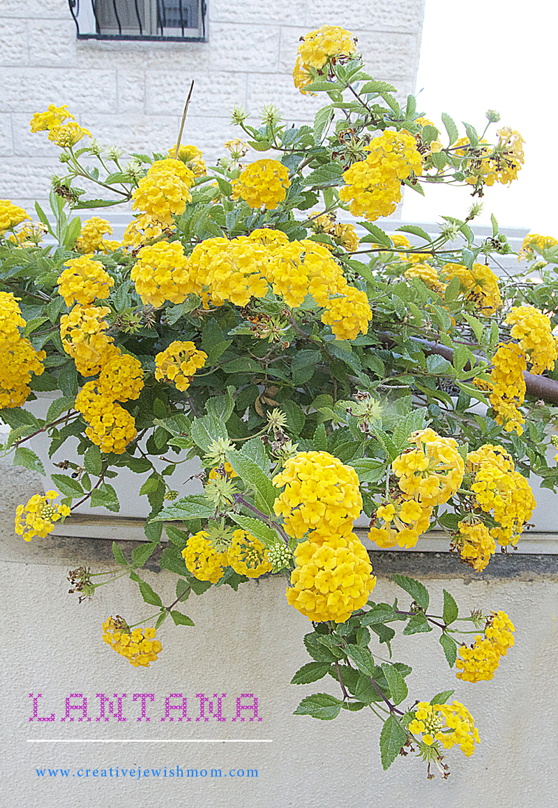 Container Gardening- Lantana in bloom
