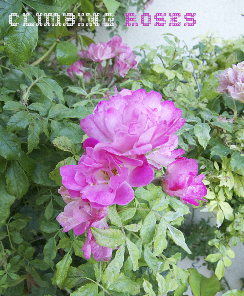 Container Gardening June 2014 climbing roses