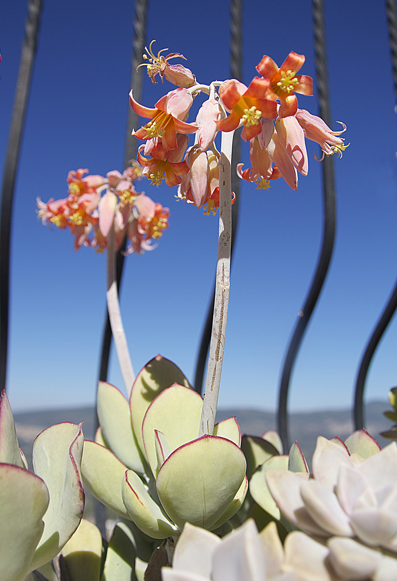 Container Gardening- cotyledon In Bloom