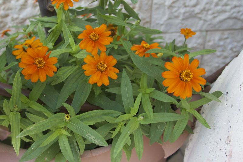 Container Garden African Daisies July 2014