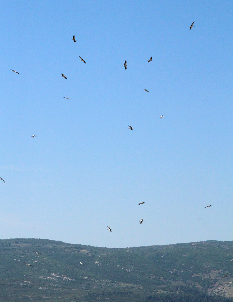 Migrating White Storks Over Gallilea
