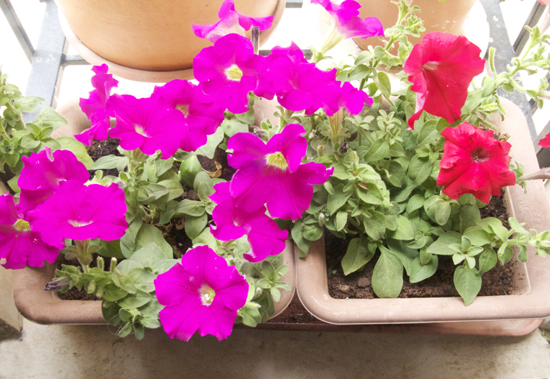 Petunias In Window Garden