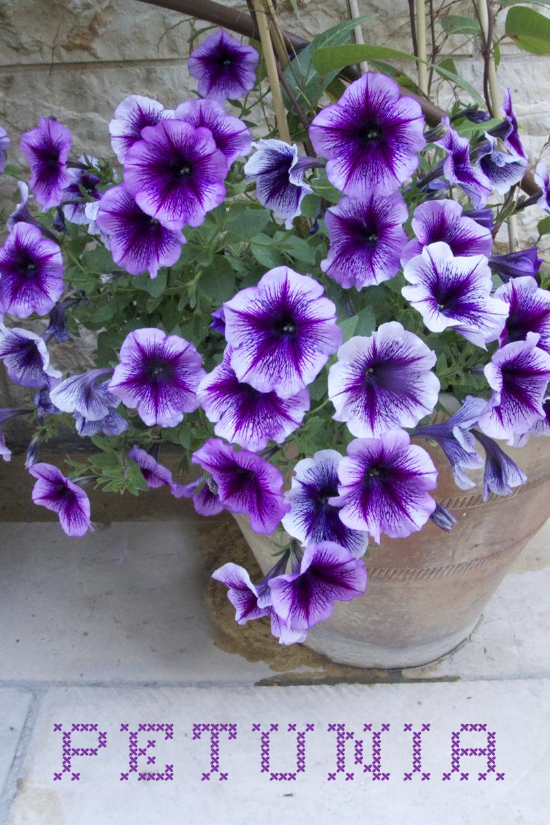 Container Garden spring 2014 petunia