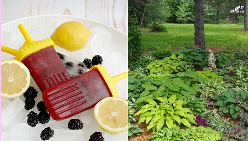 Blackberry popsicle,hosta garden