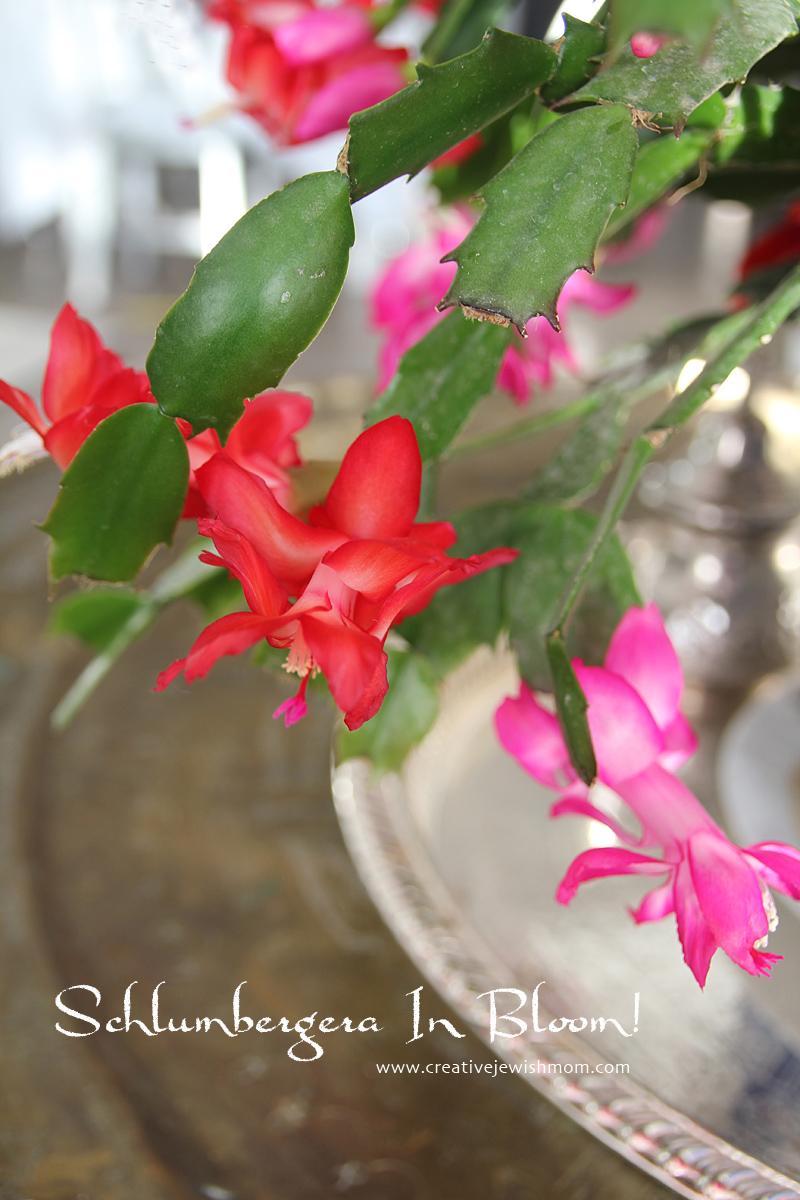 Schlumbergera Blooms