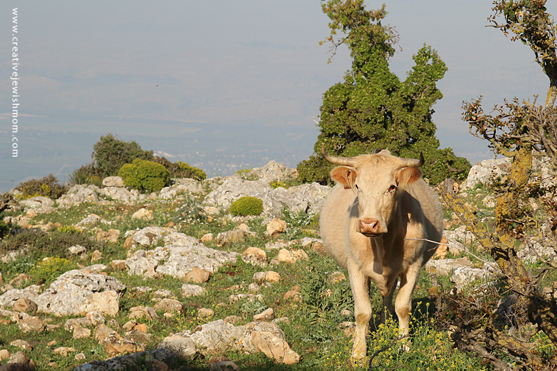 Israel Vacation Dalton View with Cow