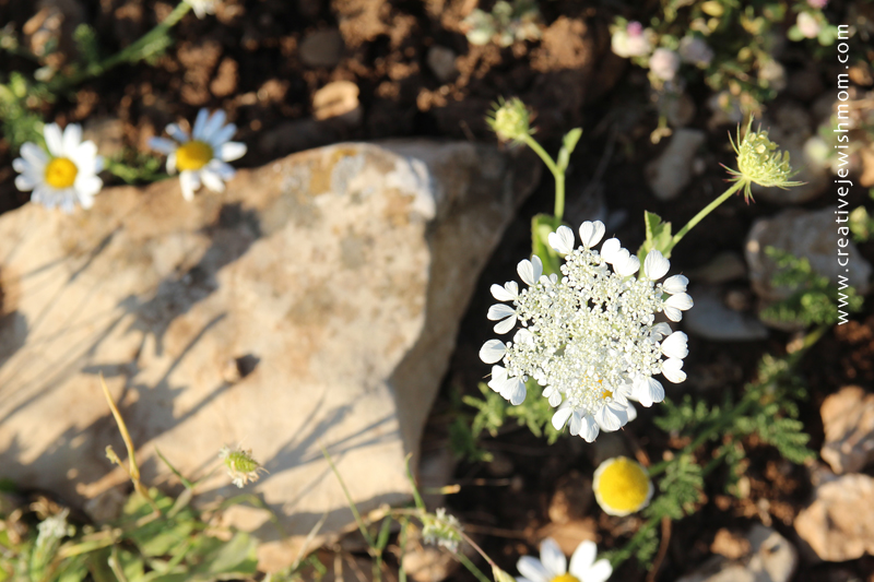 Israel Wildflowers Queen Anne's Lace Spring 2015