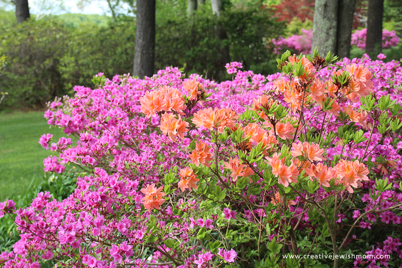 Blooming Bushes Connecticut Azalea pink and peach
