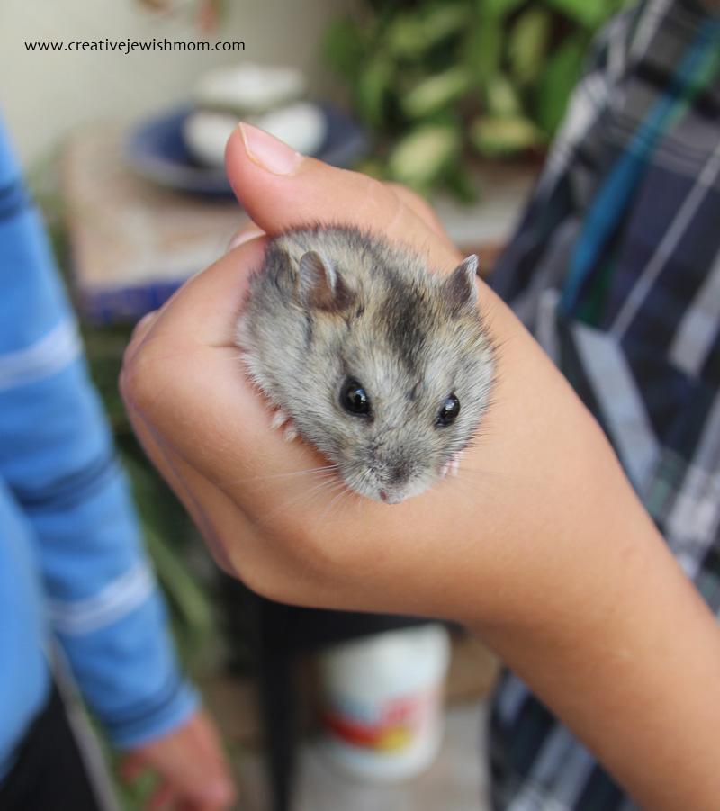 Hamster miniature doesn't bite