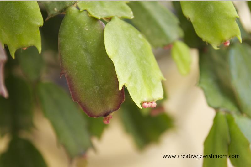 Schlumbergera Cactus First Buds
