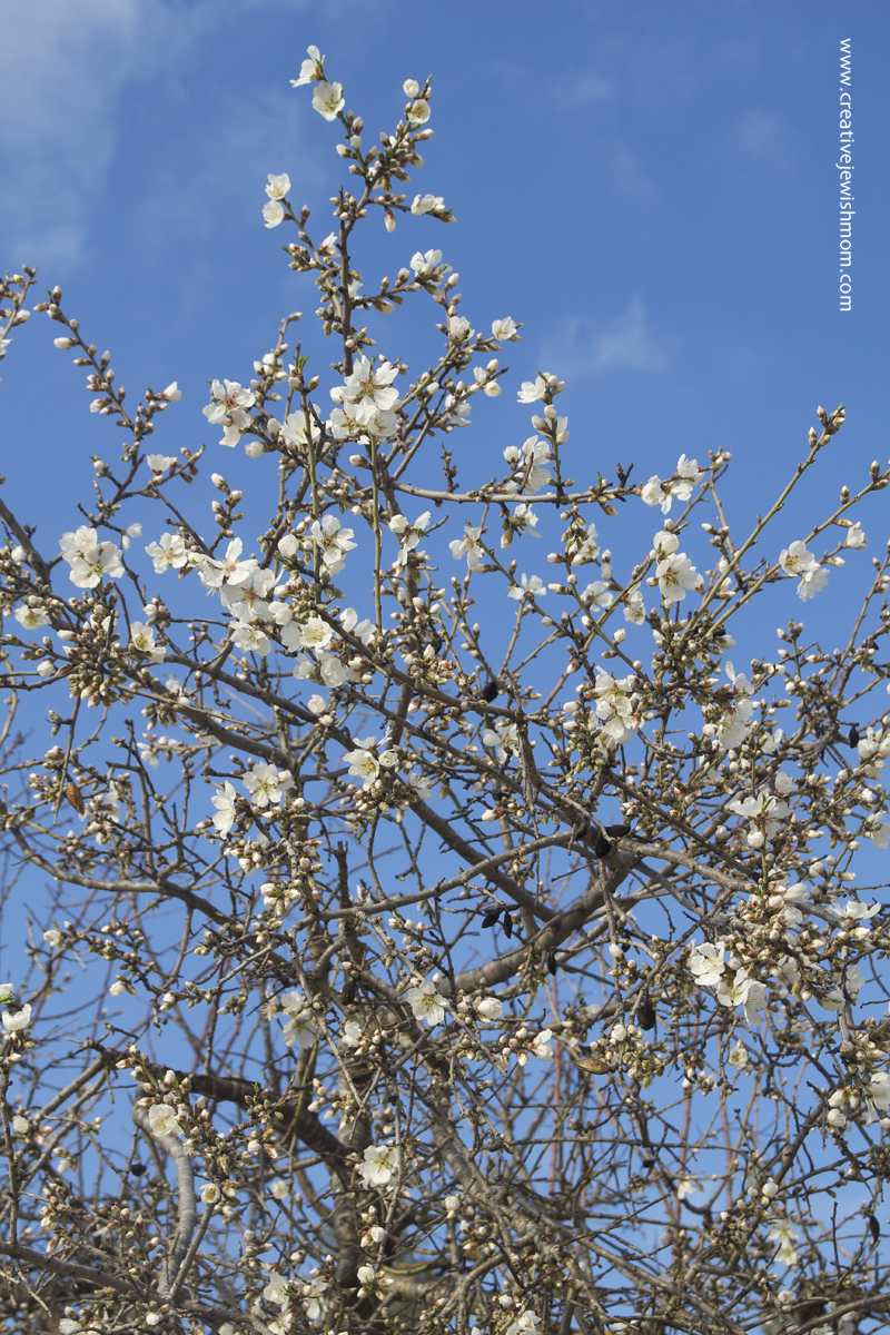 Almond Blossoms First Israel 2016