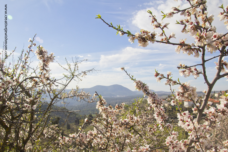Almond Blossoms With Galillea View