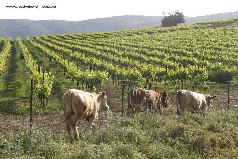 Elkana Gravesite Vineyard and Cows
