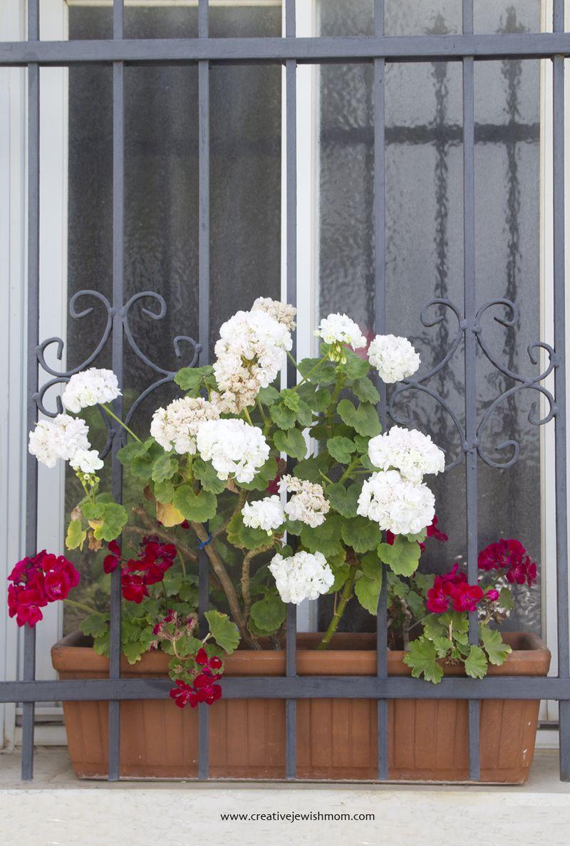 Geraniums in window box
