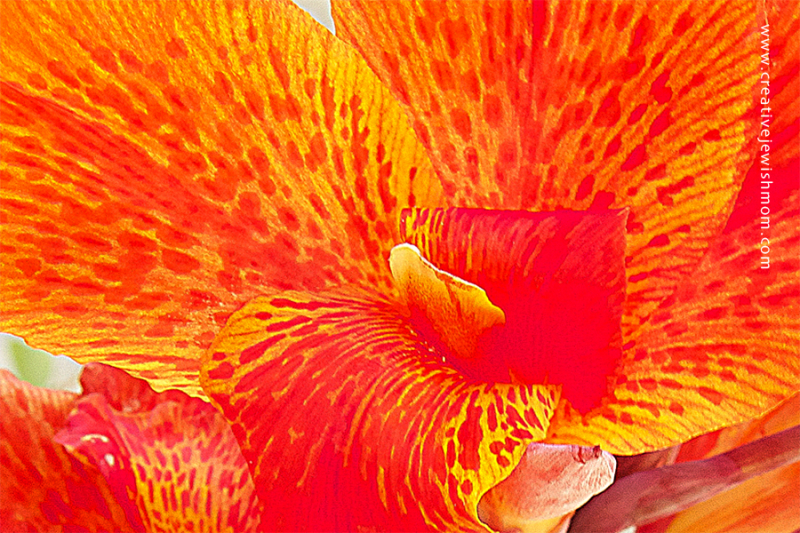 Red Canna In Bloom Very Close up 2016