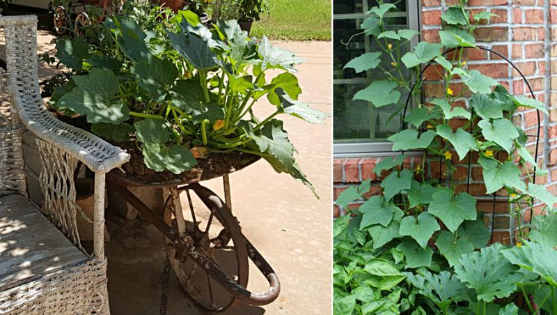 Growing cucumbers vertically,squash in a wheelbarrow