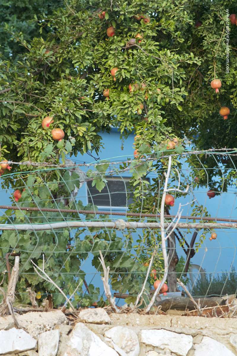 Pomegranites In Israel Ripen With Blue Wall Is