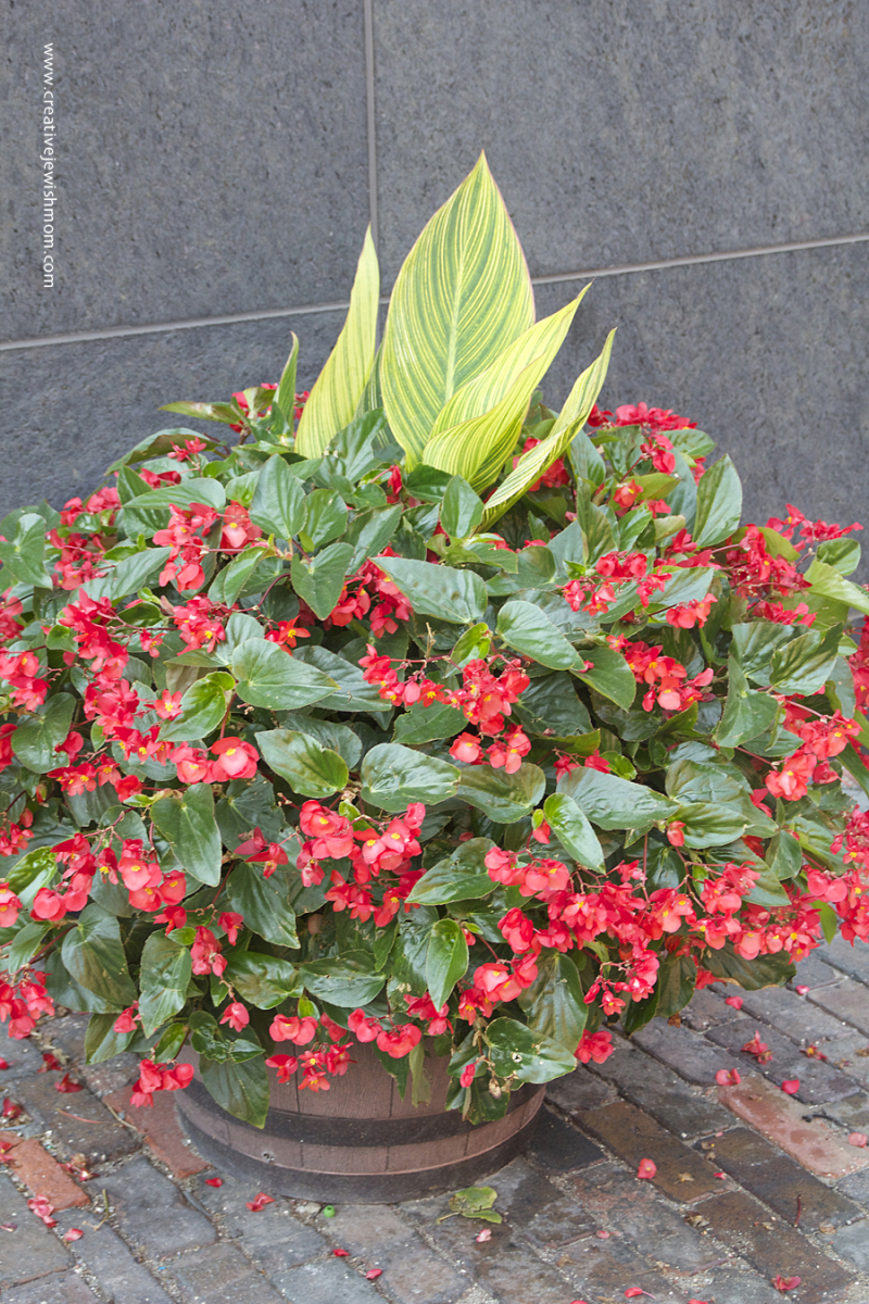 Toronto Flowers Begonia in a tub