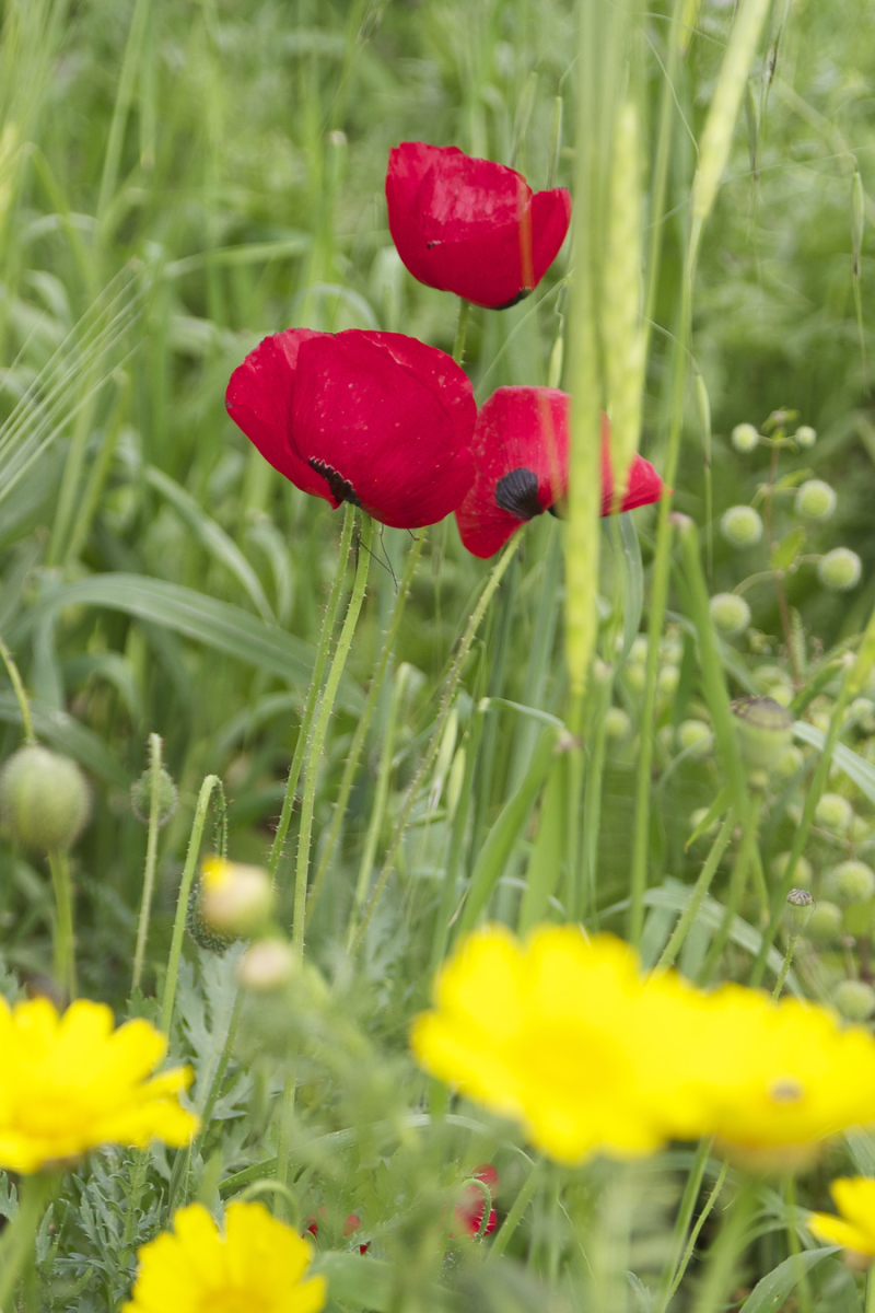 Red Poppies with yellow daisies passover 2017