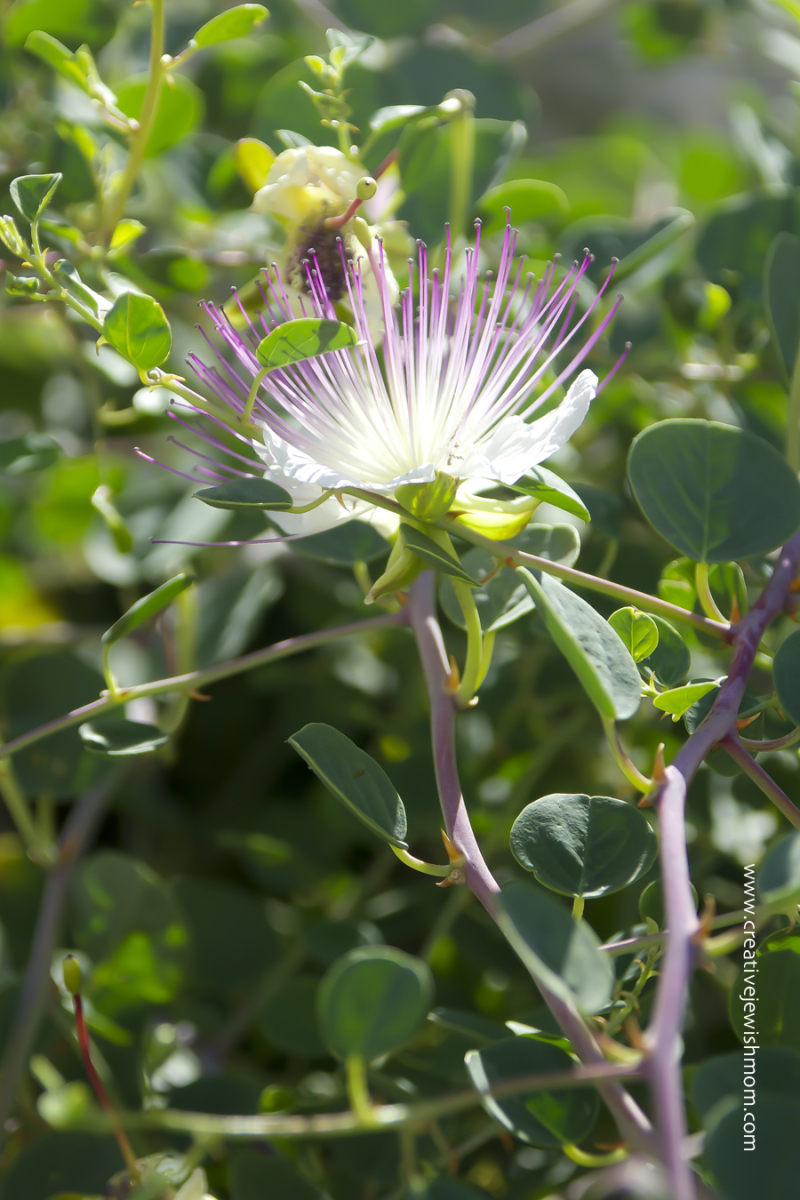 Thorny Caper Flower Close Up