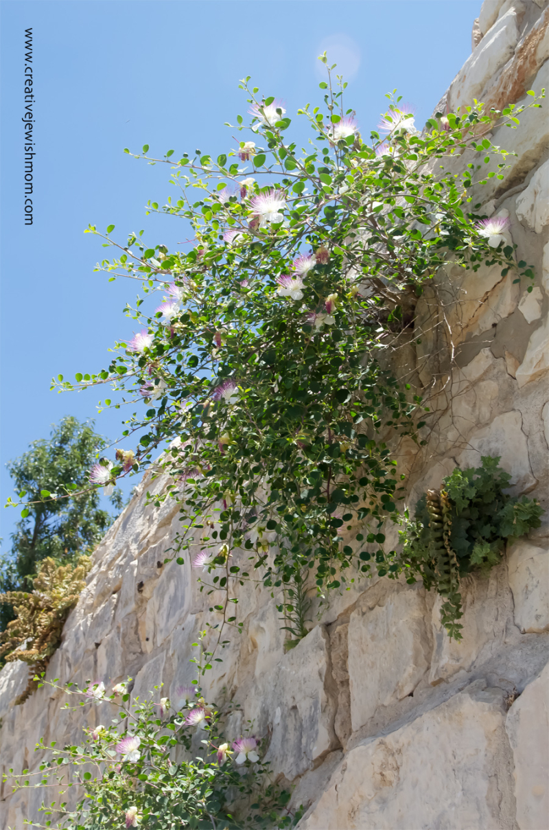 Thorny Caper Tzaluf Grows From Cracks In Walls